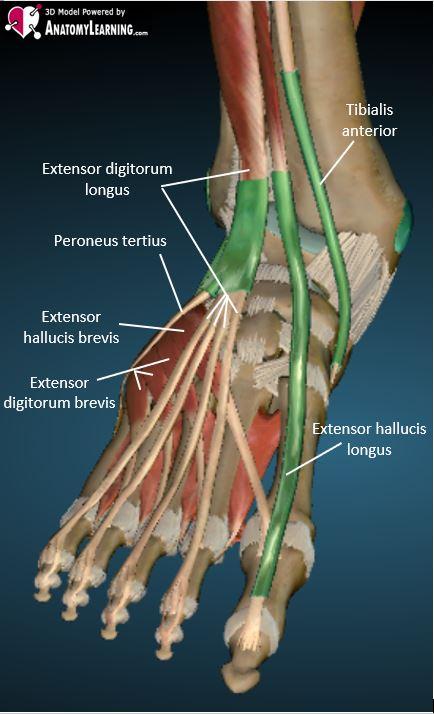 anterior ankle tendon anatomy labelled