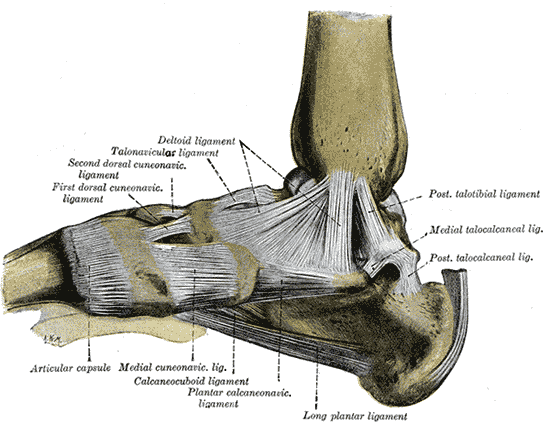 Anatomy of the medial ankle ligament complex.