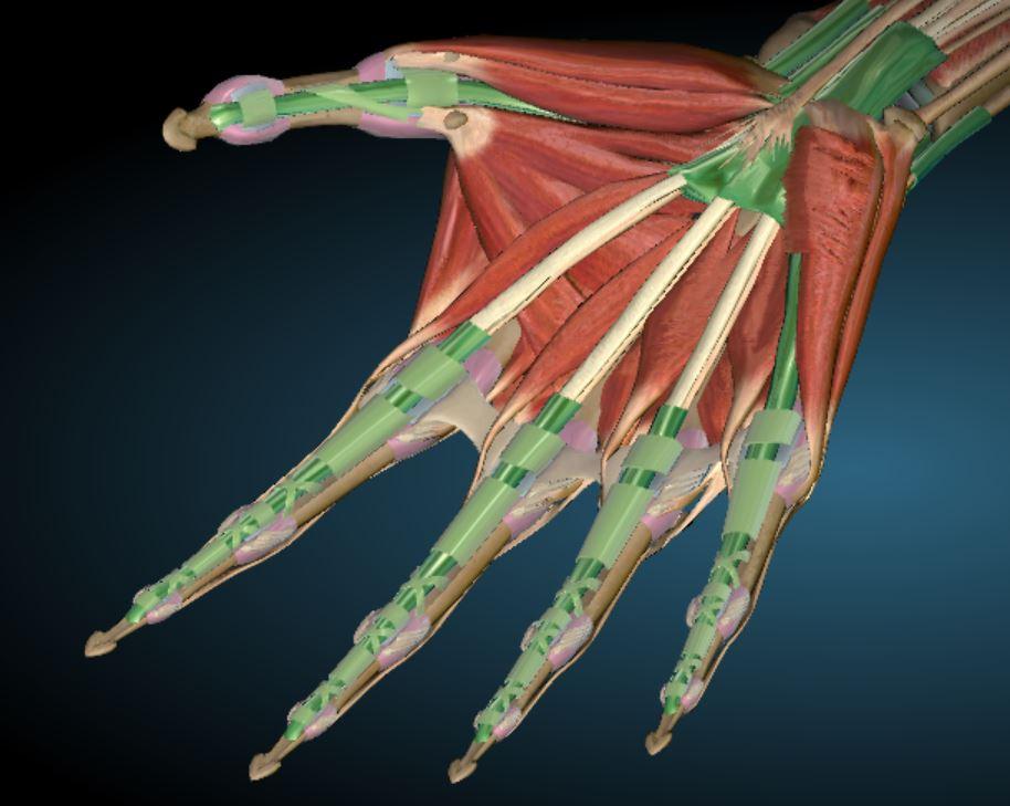 Anatomy of the anterior hand