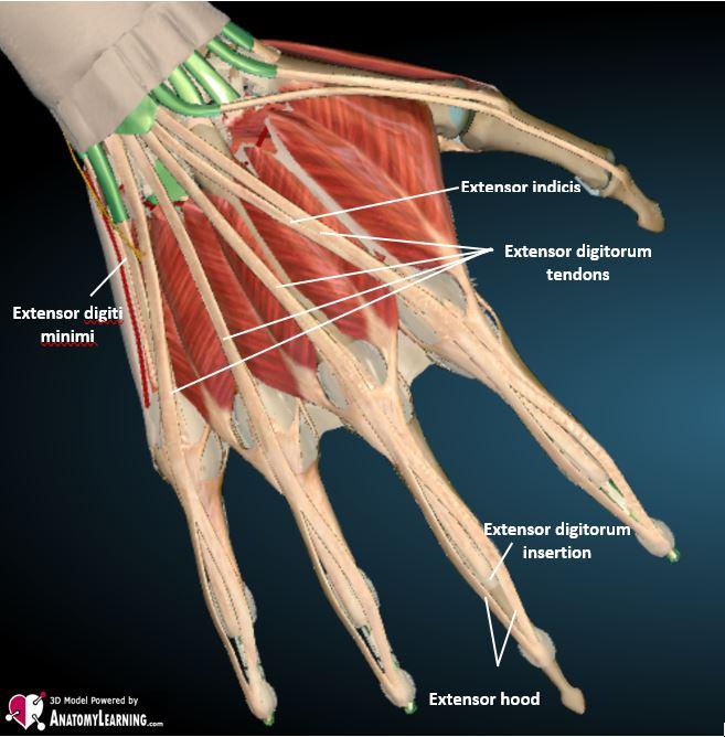 hand finger extensor tendon anatomy labelled