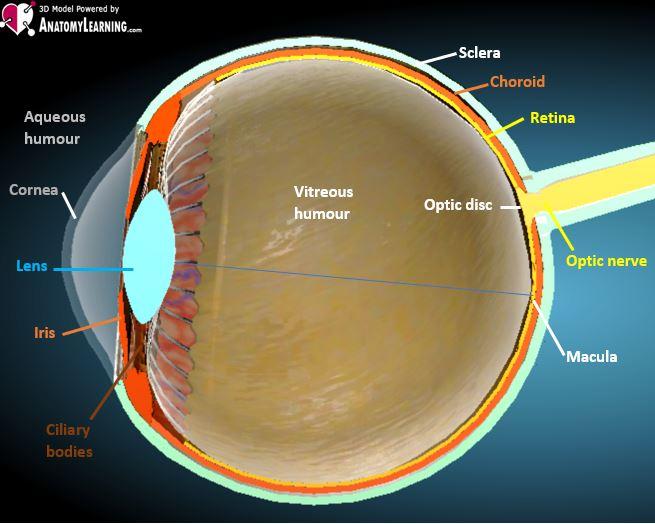 eye anatomy sliced